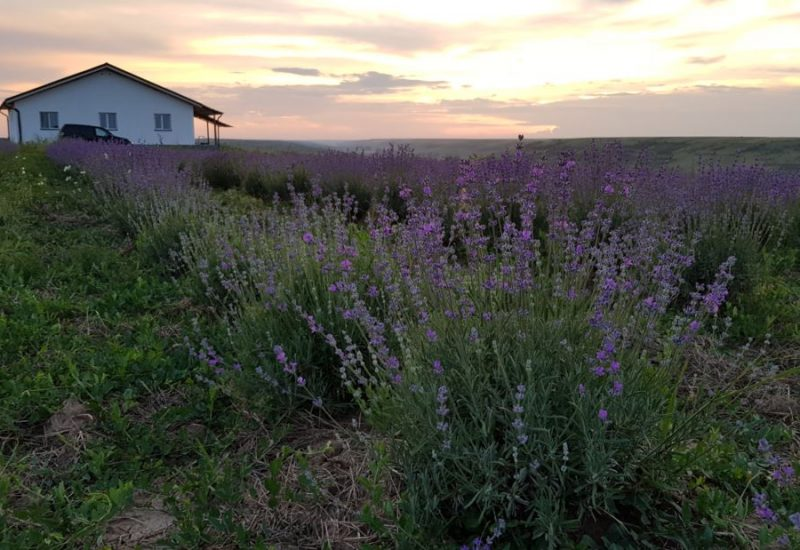 farmhous from lavender field (Phone)